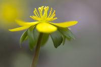 Einzelner Winterling (Eranthis hyemalis) im Garten