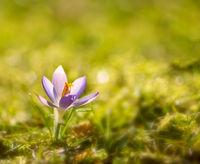 Purple crocus flower in spring