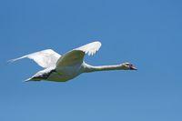Mute swan flying