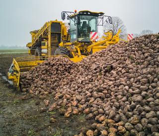 Zuckerrübenernte mit einem Rübenroder eine Landwirtschaftliche Maschine