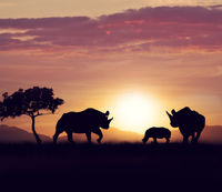 rhinoceros family at sunset