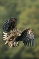 White-tailed Eagle * Haliaeetus albicilla * in powerful flight