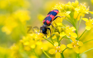 Close-up of a red bug on the petals of yellow flowers.