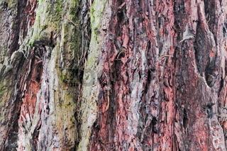 Rinde Kalifornischer Mammutbaum