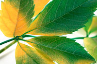 Multicolor grapes leaves (Parthenocissus quinquefolia foliage)