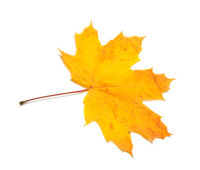 Yellow dried autumn maple-leaf