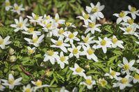 Buschwindroeschen | wood anemone