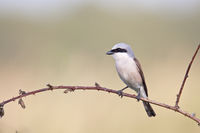 Red-backed Shrike / Lanius collurio