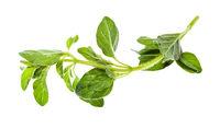 twig of fresh Oregano herb isolated on white
