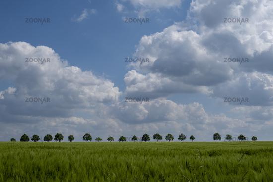 Barley field and cloudy sky