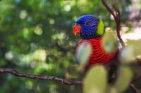 A Colorful Rainbow Lorikeet Bird in a Tree