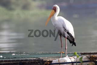 yellow-billed stork that stands on pantones for fish breeding on Lake Victoria
