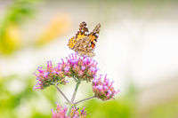 Painted Lady Butterfly collecting nectar