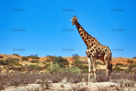 Giraffe at the dunes, Kgalagadi Transfrontier National Park, South Africa