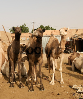 Camels at the Local cattle market in Agades, Air, Niger