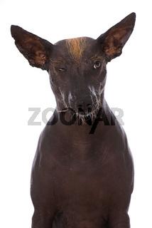 Mexikanischer Nackthund isoliert auf weißem Grund
