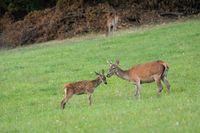 Red deer youngster standing close to its mother on a green meadow in summer