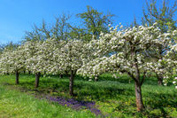 Small flowering fruit trees in a diagonal row