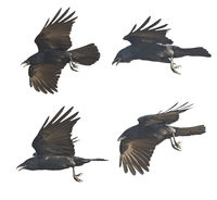 Flying crows on white background
