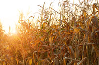 Backlit Maize field at evening sunset time