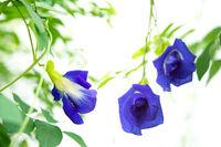 Blue butterfly pea flowers tree plant