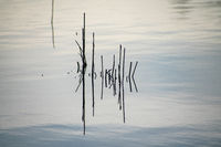 minimalistic shot of some reed stalks in water