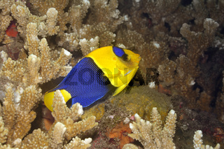 Bicolor Angelfish, adult, Centropyge bicolor