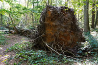 uprooted tree left to rot in natural forest