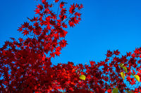 red acer leaves in autumn against a clear blue sky