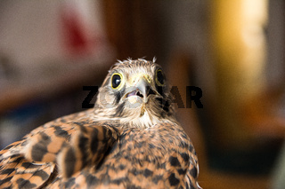 Portrait of kestrel (Falco tinnunculus)
