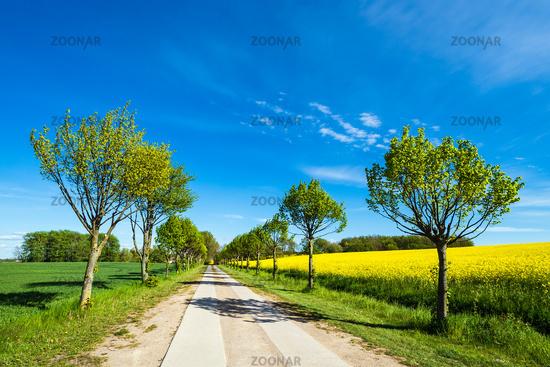 Weg mit Bäumen an einem blühendem Rapsfeld