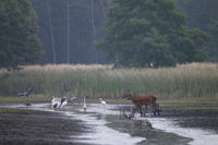 Red Deer hind and calf cross a river