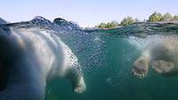 Two polar bear swimming underwater