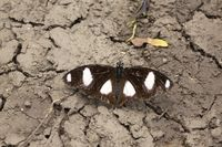 Black and white spotted Butterfly near Pune, Maharashtra, India.