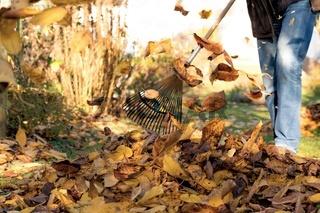 Zusammenrechen von Herbstlaub unter einem Kirschbaum in einem Garten