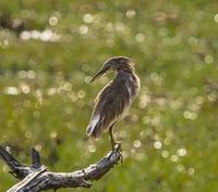 Yala NP - Indian Pond Heron