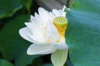 white lotus flower closeup