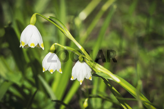 Maerzenbecher | spring snowflake