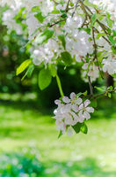 Branch of blossoming apple-tree, spring