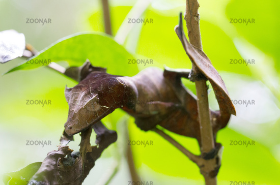 Uroplatus phantasticus, the satanic leaf-tailed gecko in Madagascar