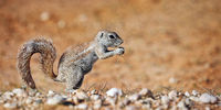 Ground squirrel, Kgalagadi Transfrontier National Park, South Africa, (Xerus inauris)