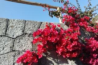 Gartenmauer mit Bougainvillea