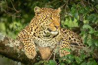 Leopard lies on lichen-covered branch staring right