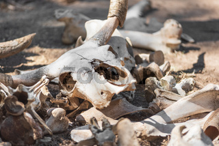 Skulls and bones Of Dead Animals In The Far West.