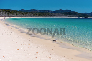 Seagulls Swimming In The Clear Blue Water Of A White Silica Sand Beach In Whitsundays Australia