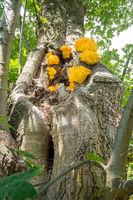 Laetiporus sulphureus bracket fungus