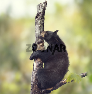 Black bear on a tree