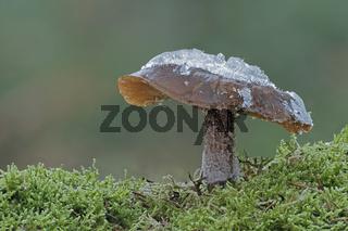 Pilz mit Eiskristallen