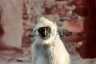 Langur monkey portrait on the background of ancient temple