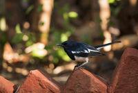 Oriental magpie-robin, Copsychus saularis, Ranthambore national park, Rajasthan, India.